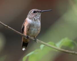 Hummingbirds are in the Air!