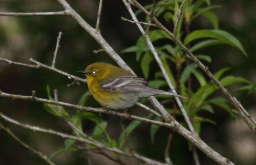 Early Birding at Window Cliffs-July 23, 2018