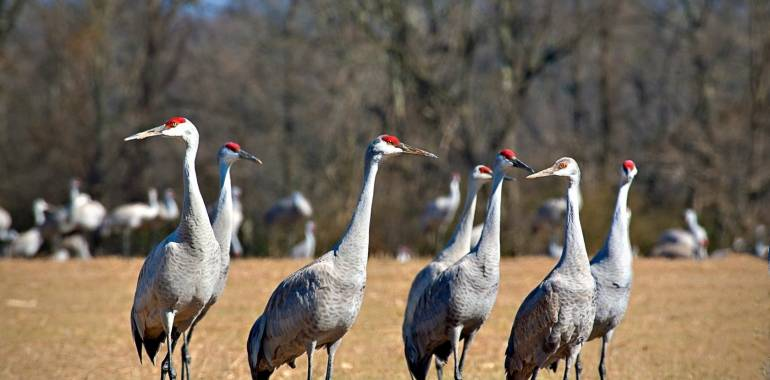 Tennessee Sandhill Crane Festival-January 19 2019