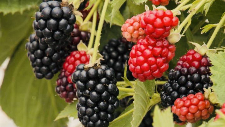 Blackberry Stroll @ Head of Squatchie-Pikeville, TN-June 30, 2019
